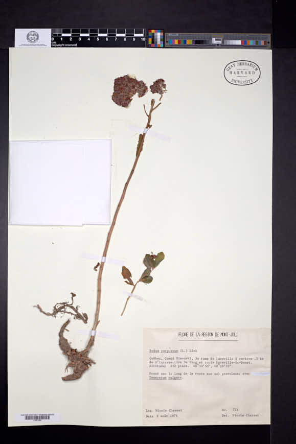 Sedum purpureum image