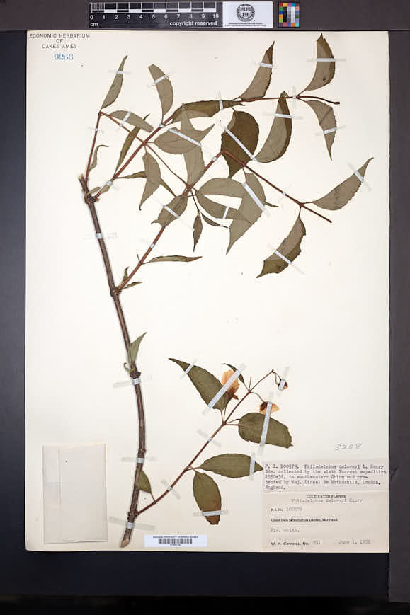 Image of Philadelphus delavayi