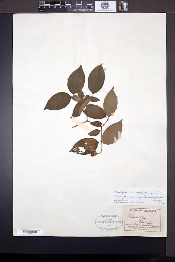 Philadelphus inodorus var. grandiflorus image
