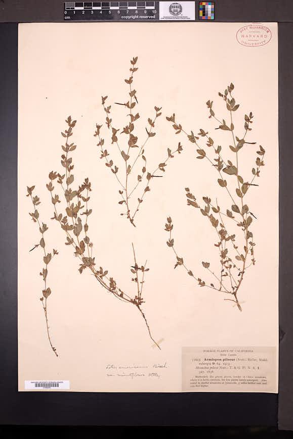 Acmispon americanus image