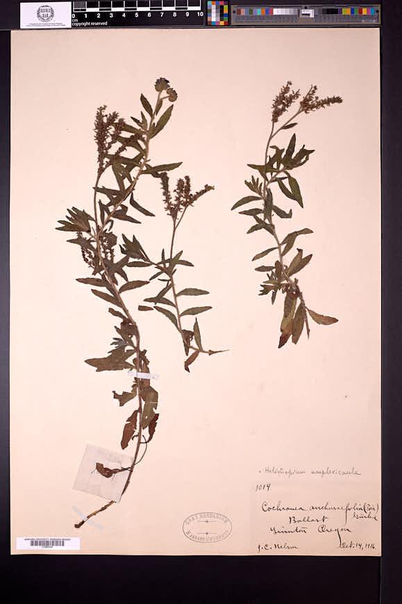 Heliotropium amplexicaule image