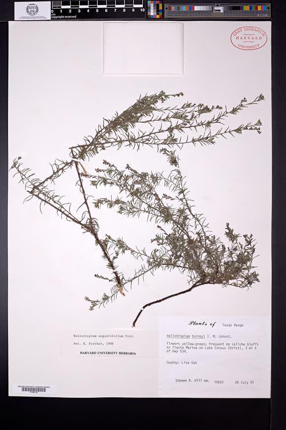 Heliotropium torreyi image