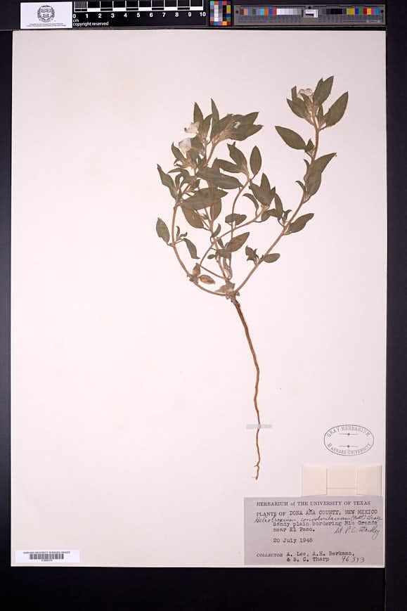 Heliotropium convolvulaceum image