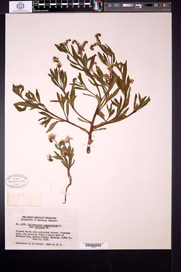 Heliotropium curassavicum var. obovatum image