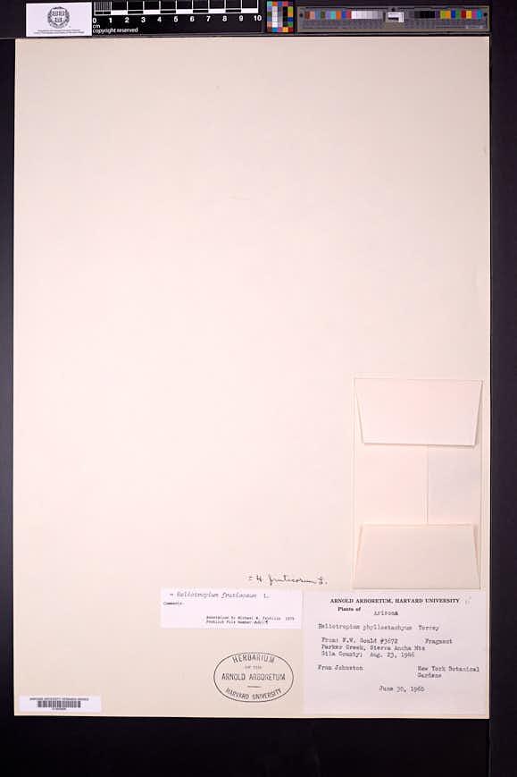 Heliotropium fruticosum image