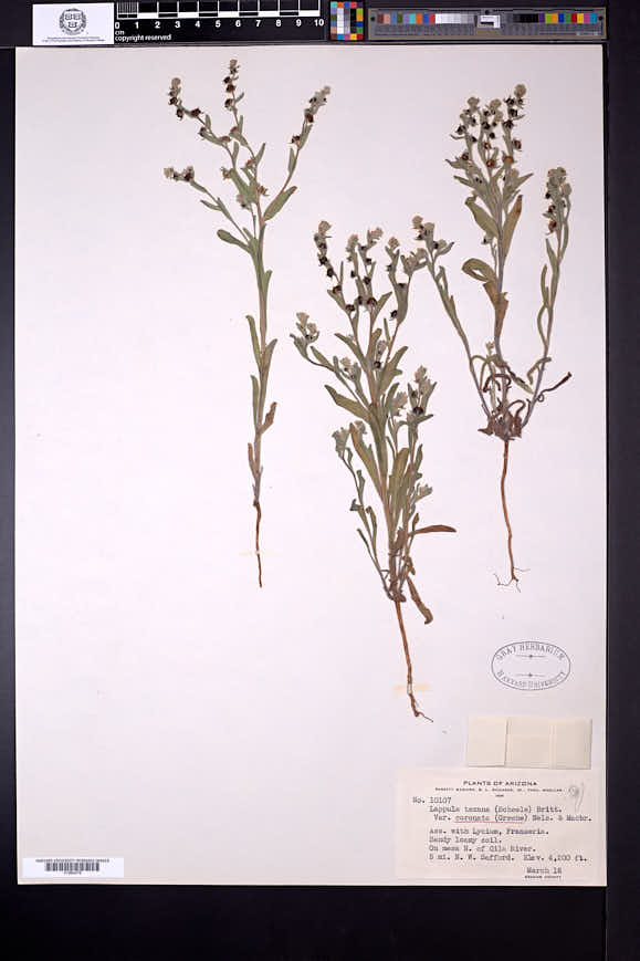 Image of Lappula coronata