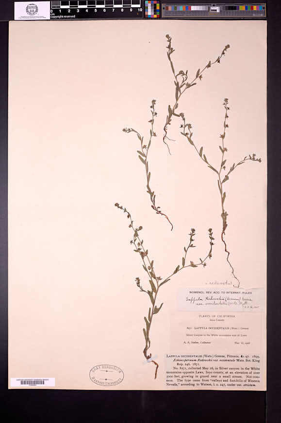 Lappula occidentalis image