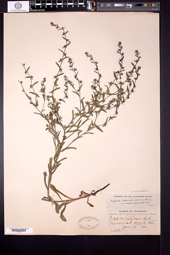 Lappula occidentalis var. occidentalis image