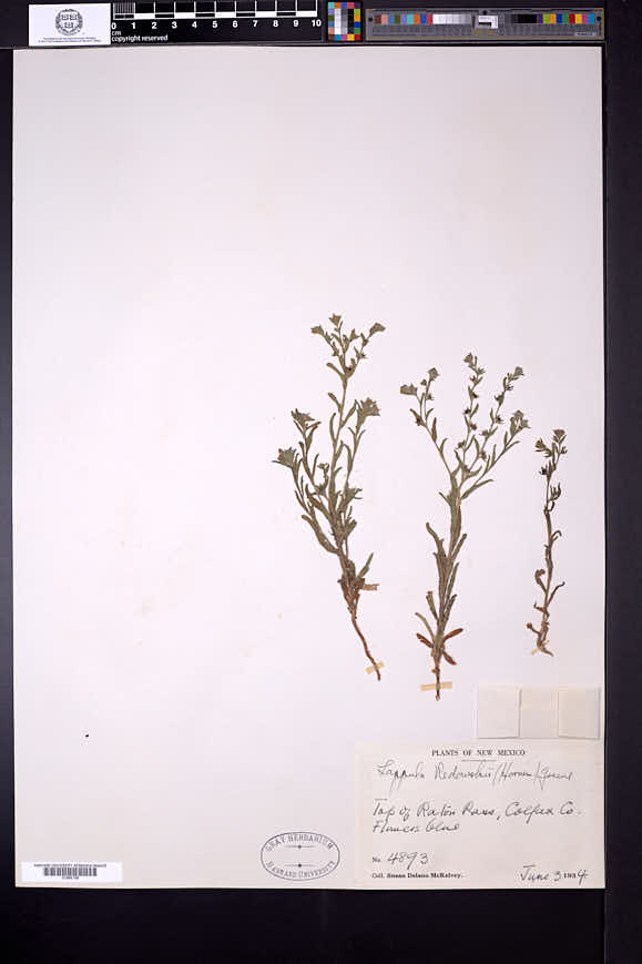 Lappula occidentalis var. occidentalis image