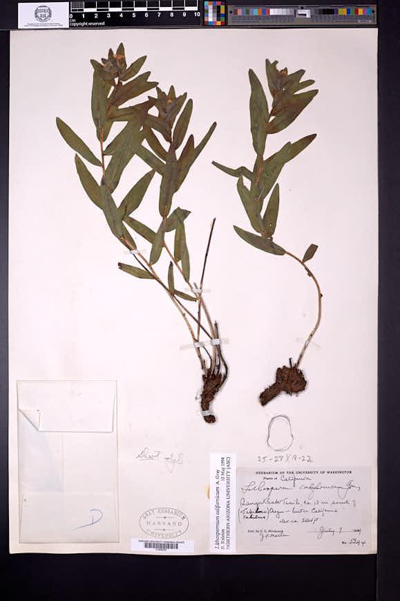 Lithospermum californicum image