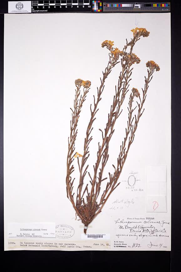 Lithospermum cobrense image