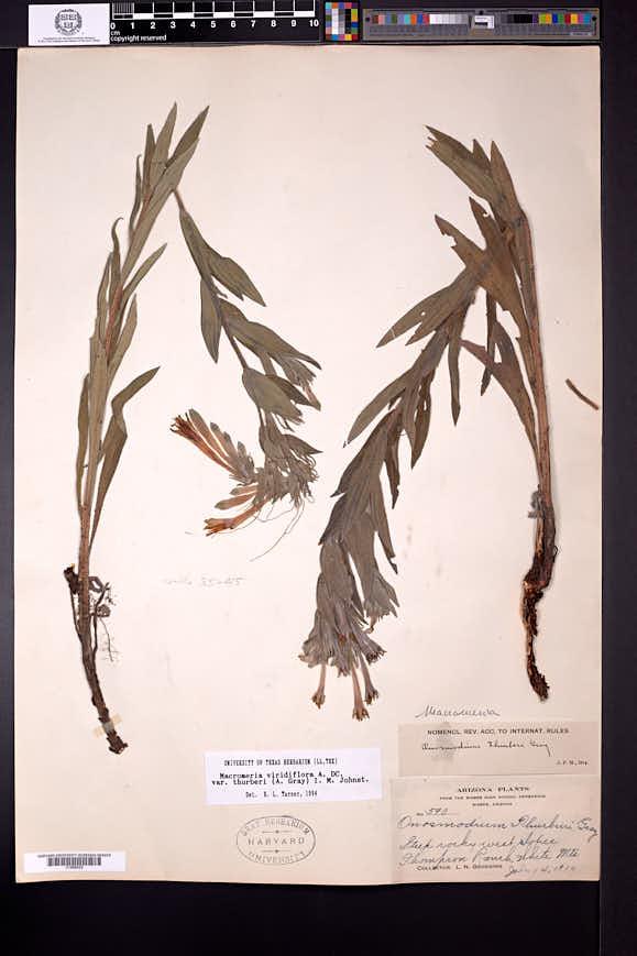 Lithospermum macromeria image