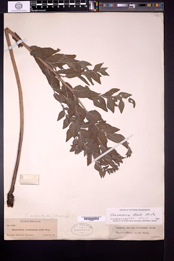 Lithospermum molle image