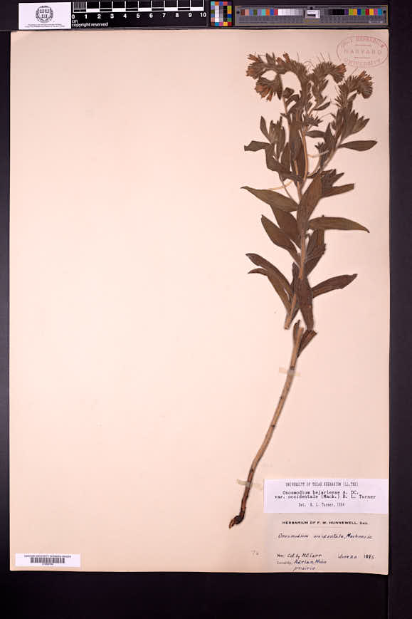 Lithospermum occidentale image
