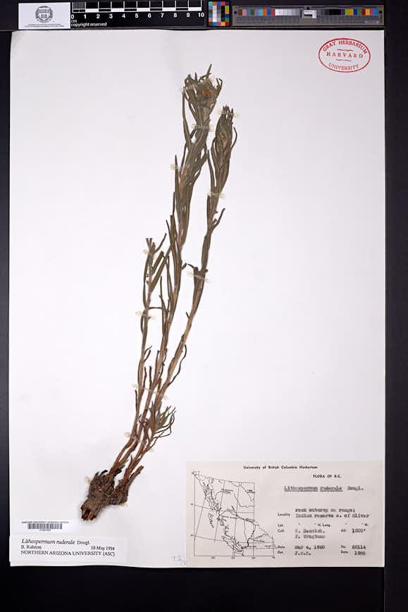 Lithospermum ruderale image
