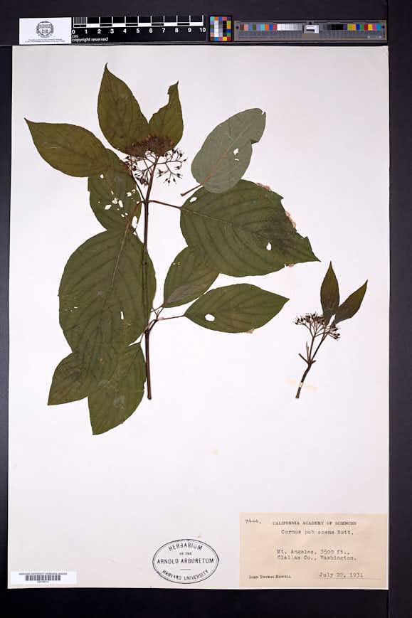 Cornus occidentalis image