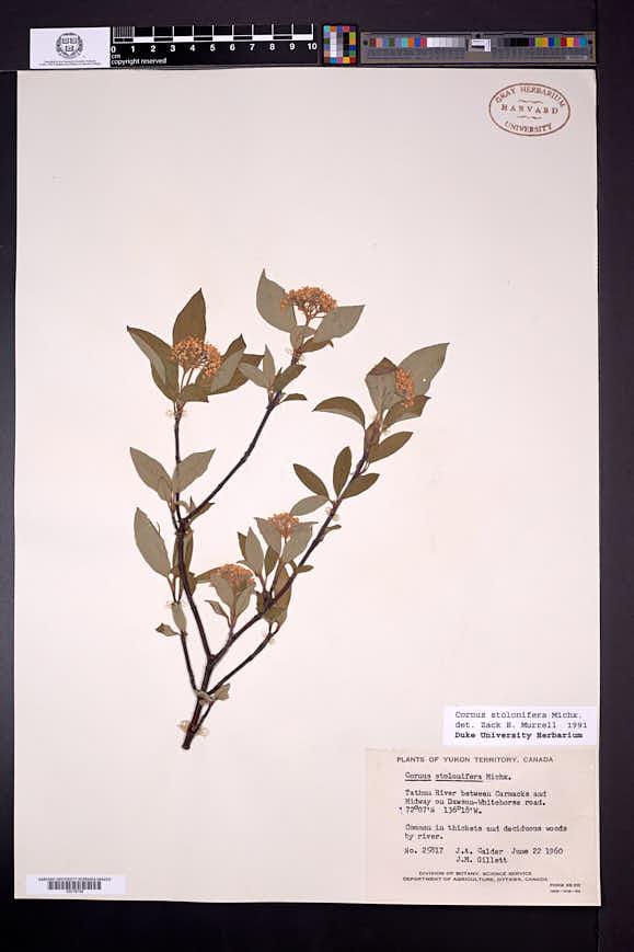 Cornus unalaschkensis image