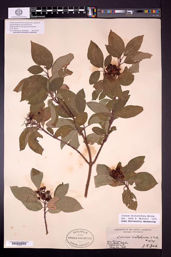 Cornus sericea subsp. sericea image