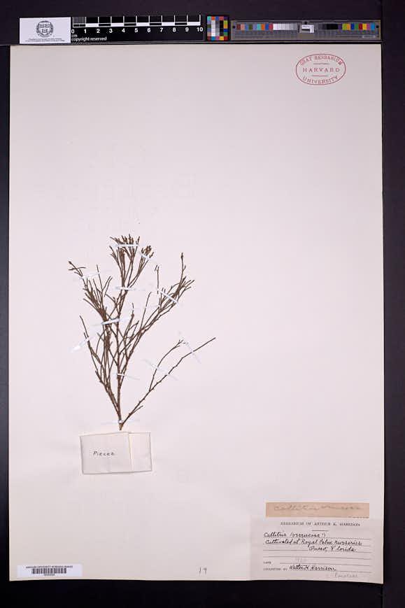 Callitris verrucosa image