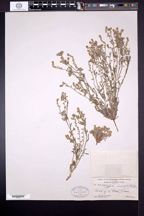 Cryptantha crassisepala image