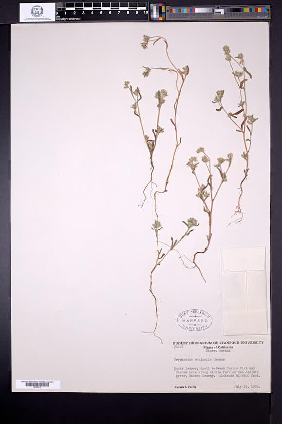 Cryptantha echinella image