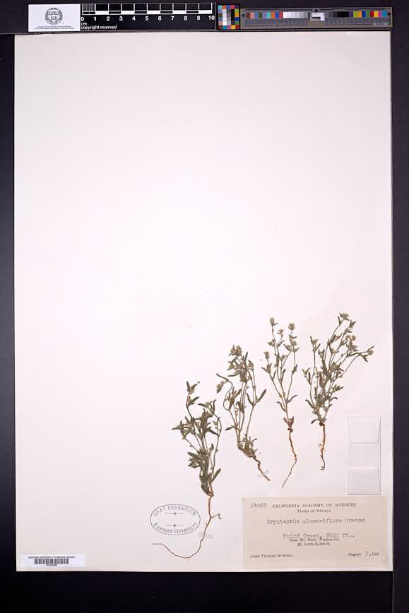 Cryptantha glomeriflora image