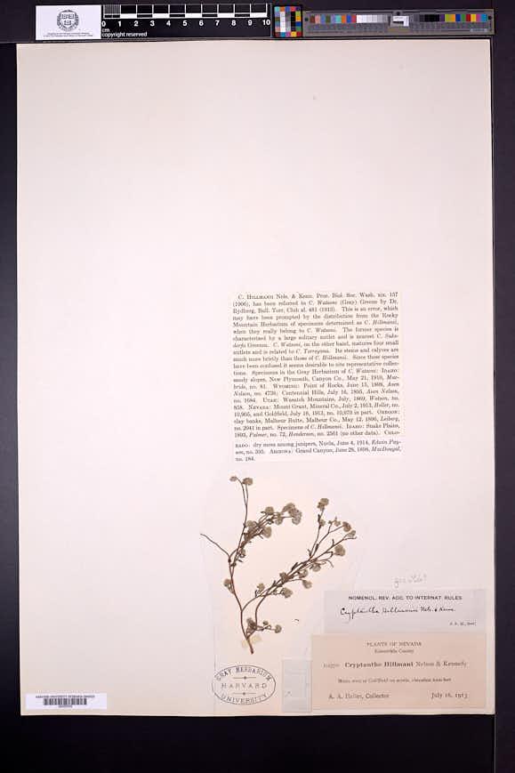 Cryptantha gracilis image