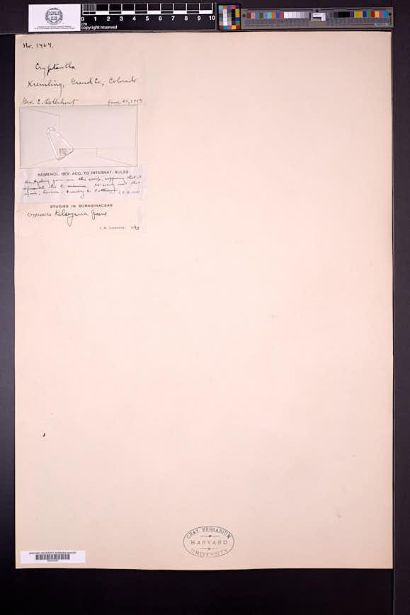 Cryptantha kelseyana image