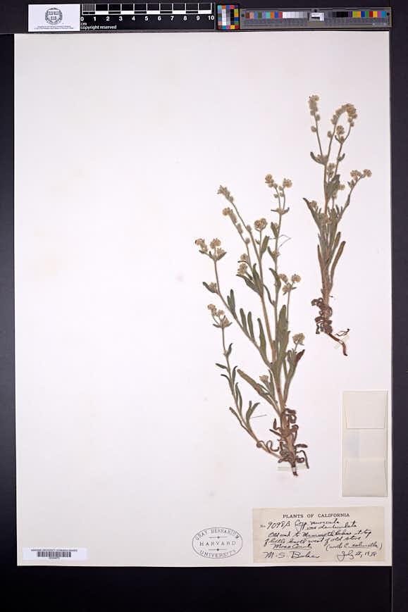 Cryptantha muricata var. denticulata image