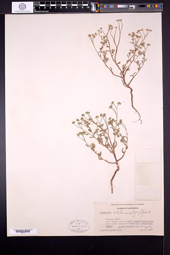 Cryptantha utahensis image