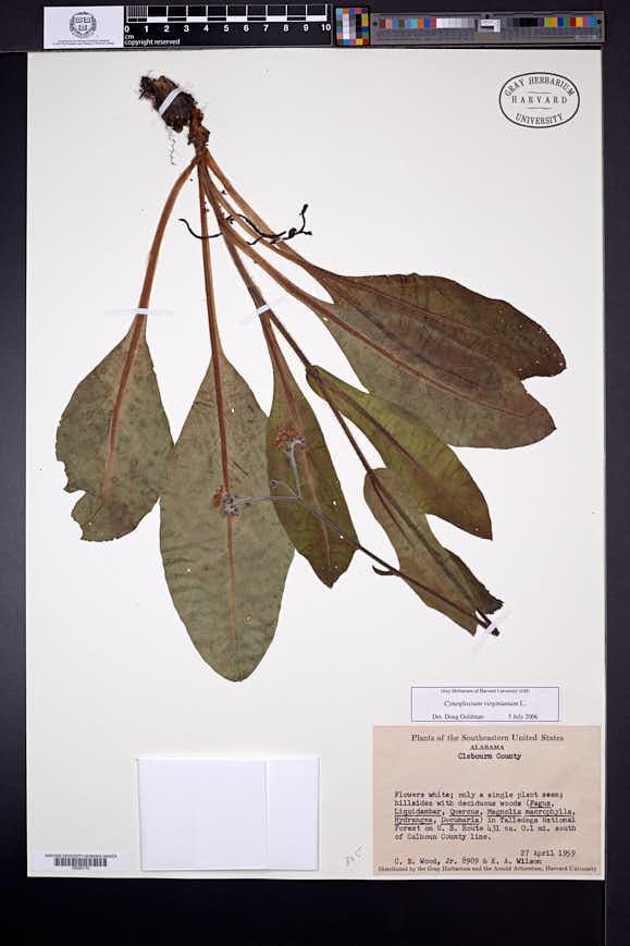 Cynoglossum virginianum image