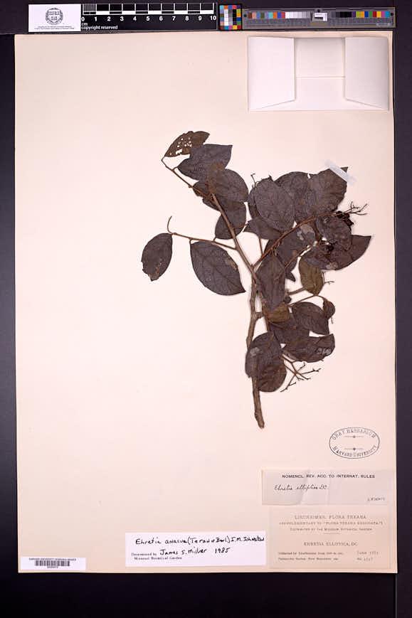 Ehretia anacua image