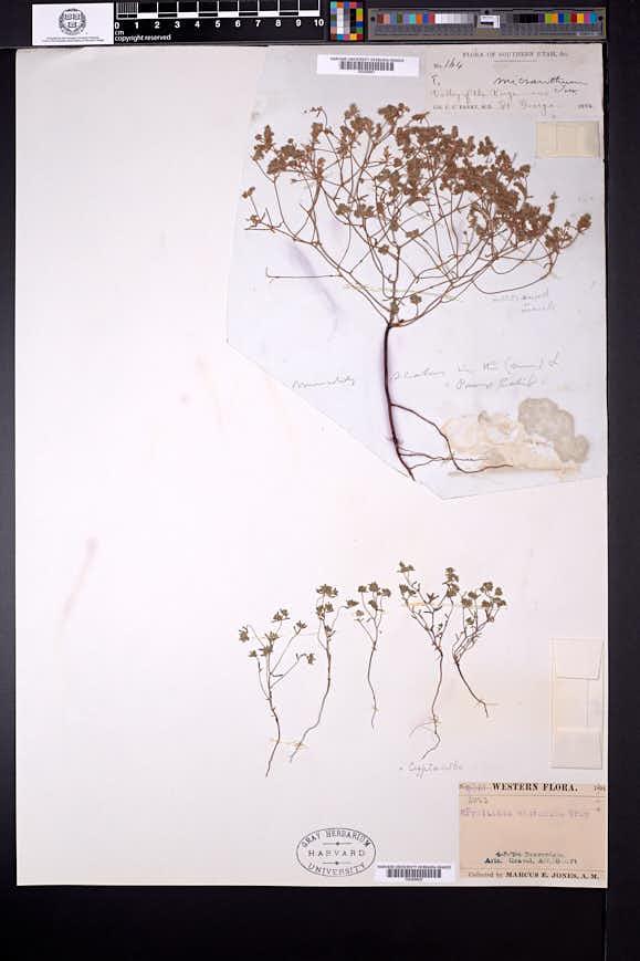 Cryptantha micrantha var. micrantha image