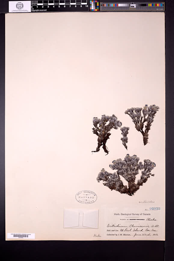 Eritrichium nanum image