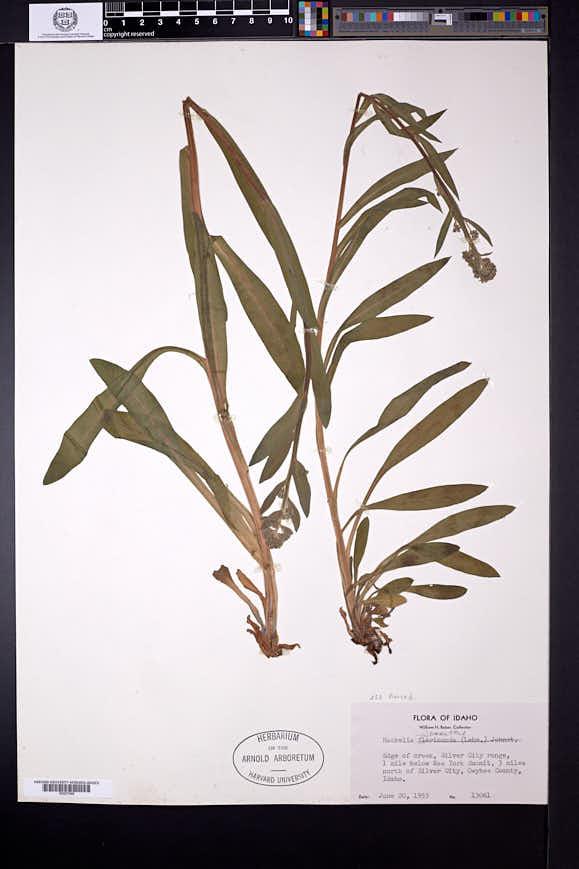 Hackelia micrantha image