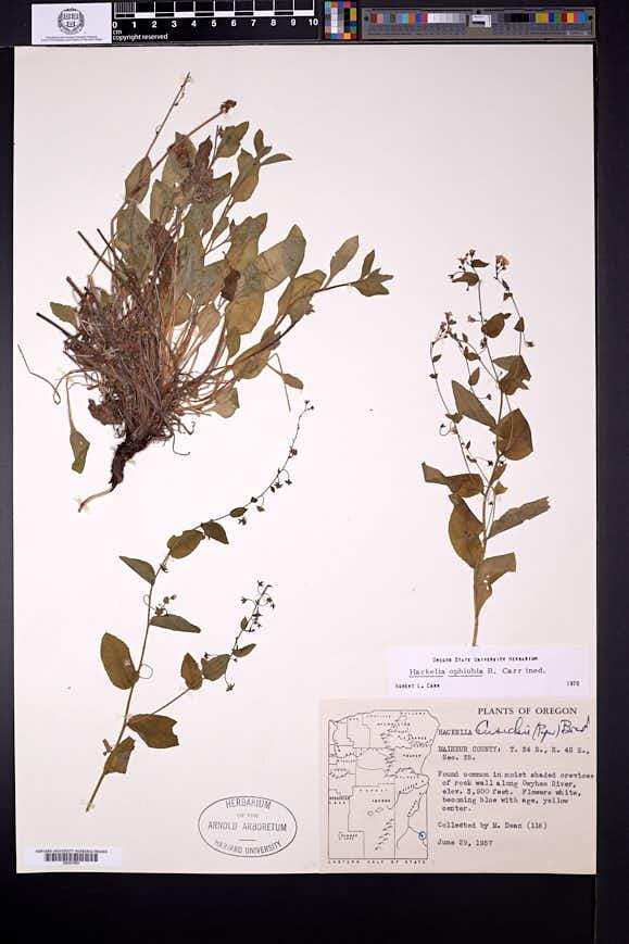 Hackelia ophiobia image