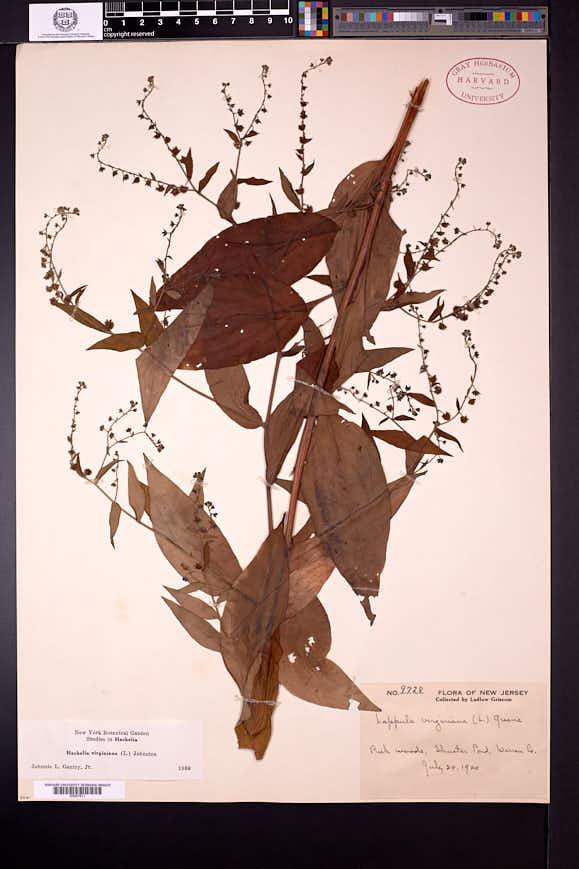 Hackelia virginiana image