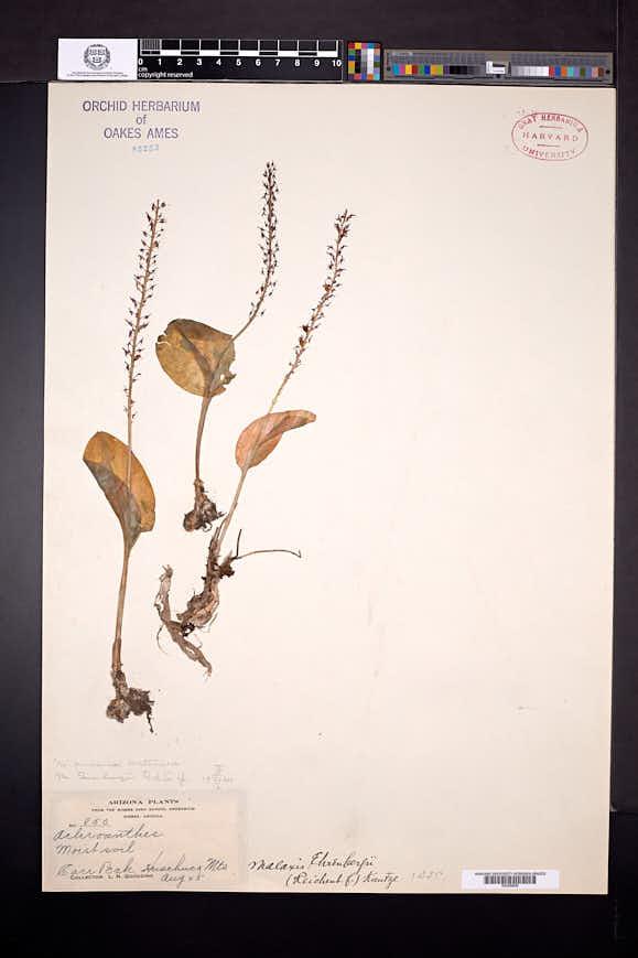 Tamayorkis ehrenbergii image