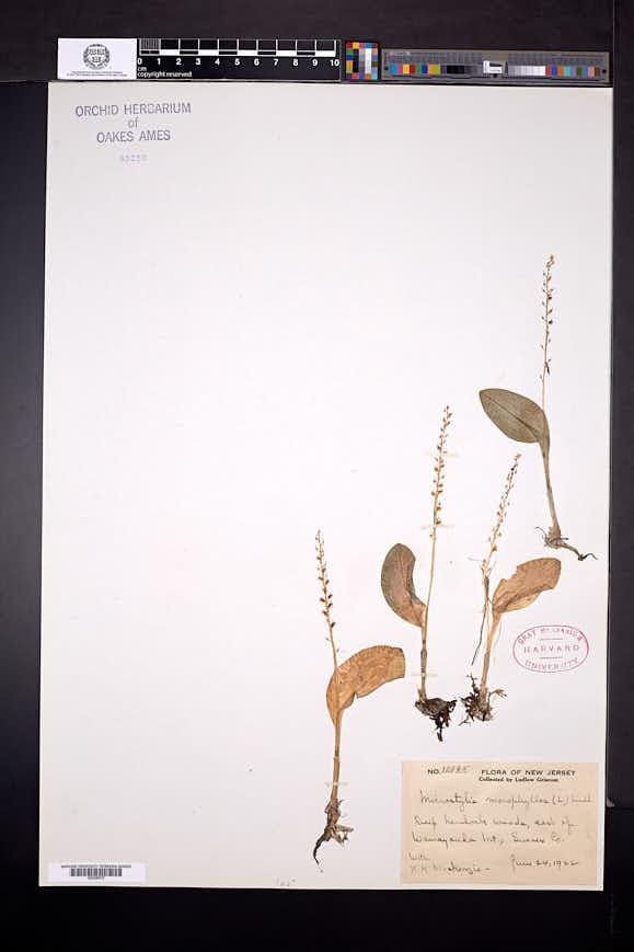 Malaxis monophyllos image