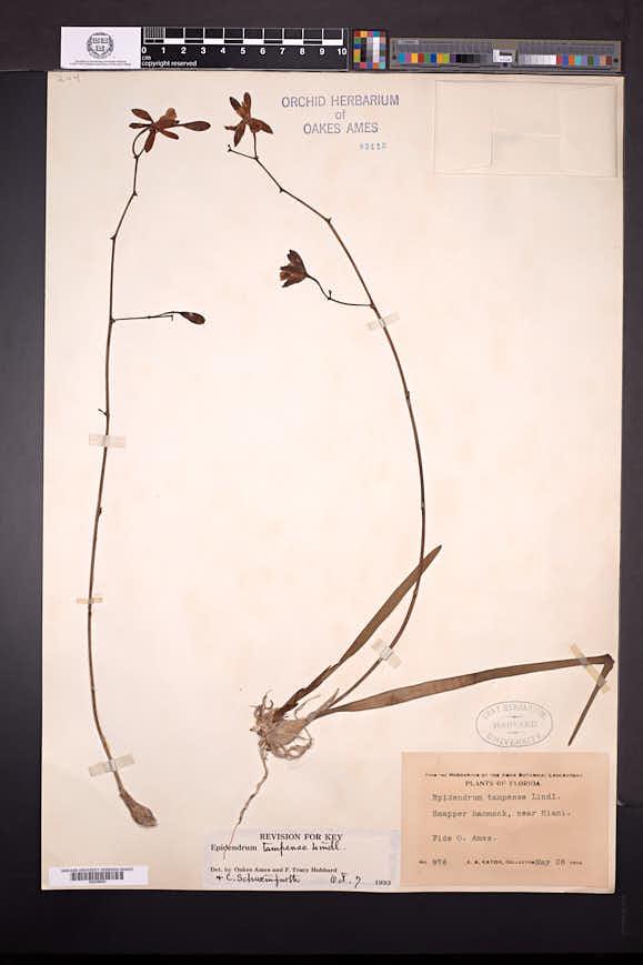 Encyclia tampensis image