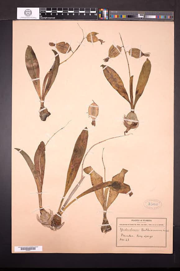 Prosthechea boothiana image