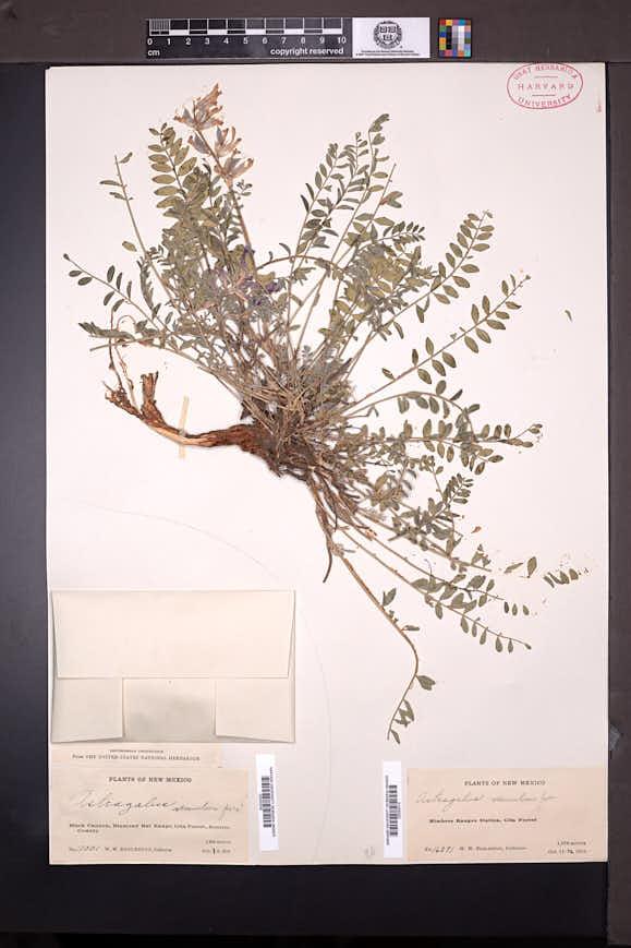 Astragalus tephrodes var. brachylobus image