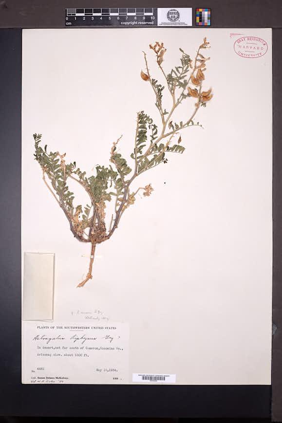 Image of Astragalus ursinus