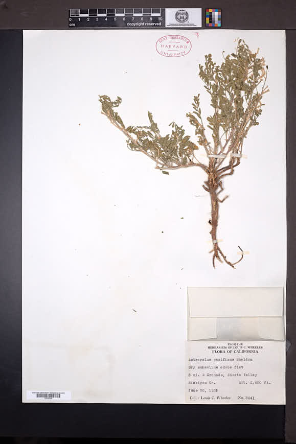 Image of Astragalus watsonii