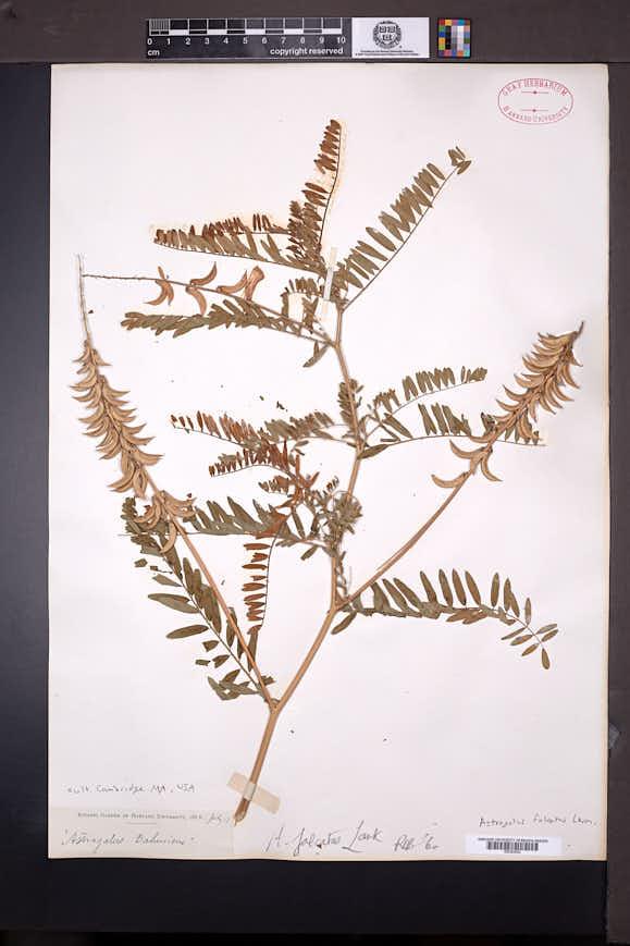 Astragalus falcatus image
