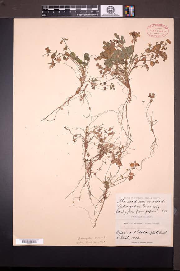 Image of Astragalus sinicus