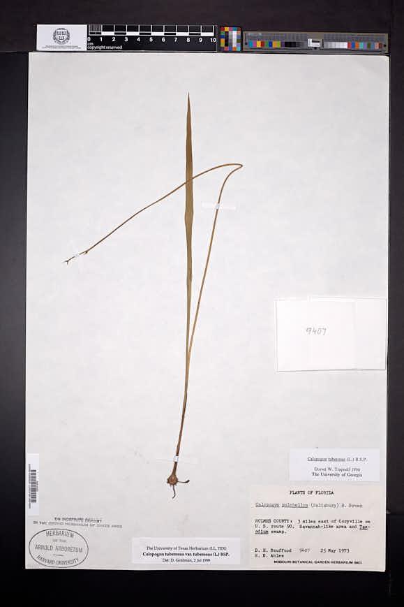 Calopogon tuberosus image
