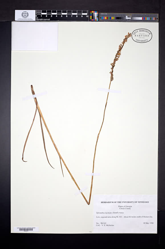 Spiranthes laciniata image