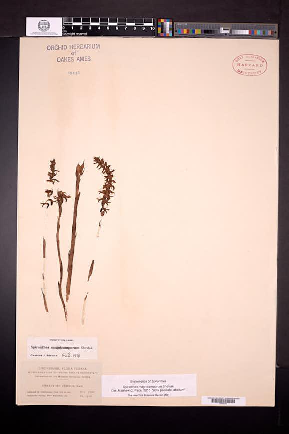 Spiranthes magnicamporum image