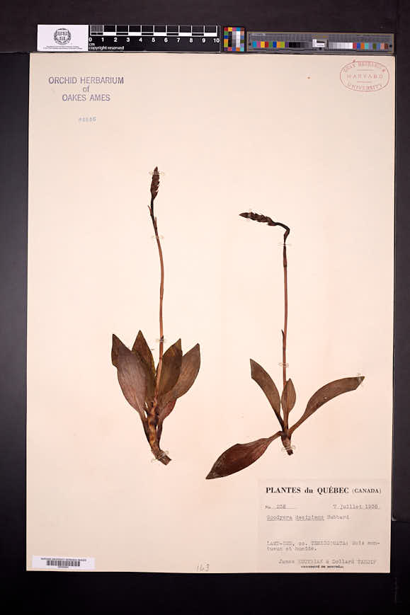 Goodyera oblongifolia image